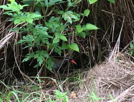 天然記念物の野性のヤンバルクイナ探し体験!